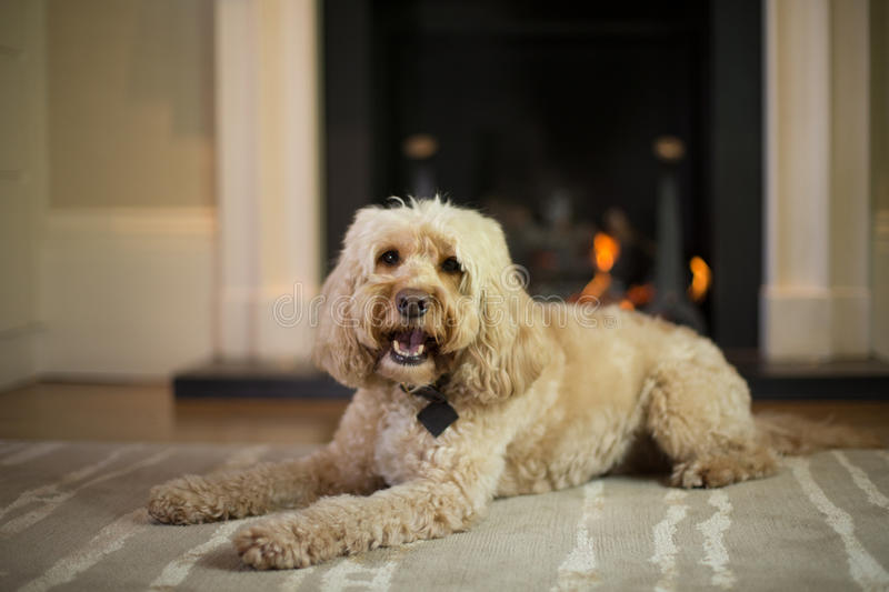 Cockapoo barking in front of fire. Place stock images
