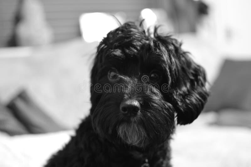 Cockapoo in bianco e nero immagine stock