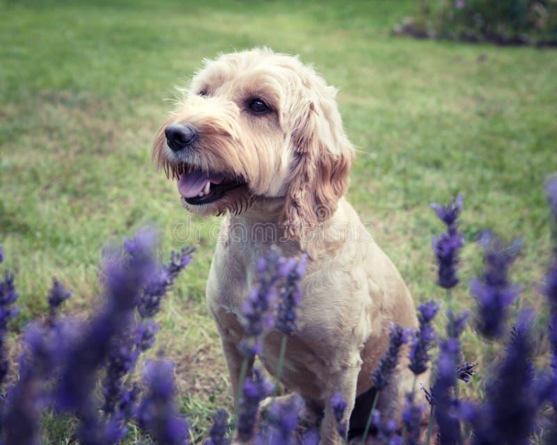 A Cockapoo dog sitting behind a lavender bush royalty free stock photo