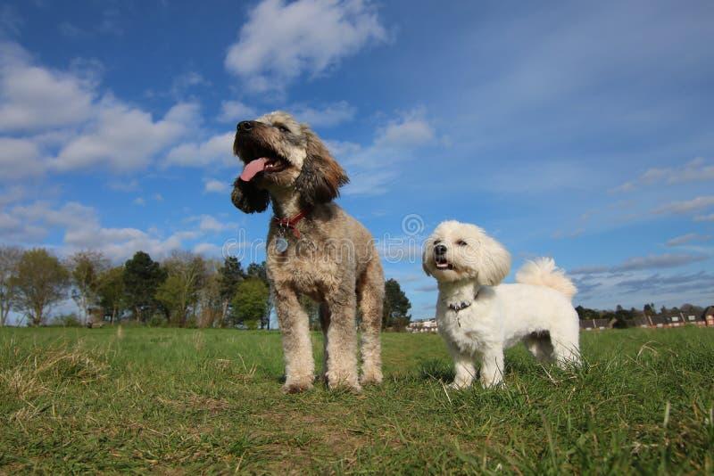 Cockapoo i havanese psy fotografia stock