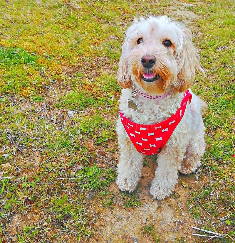Cockapoo outdoors любимца собаки милое стоковая фотография