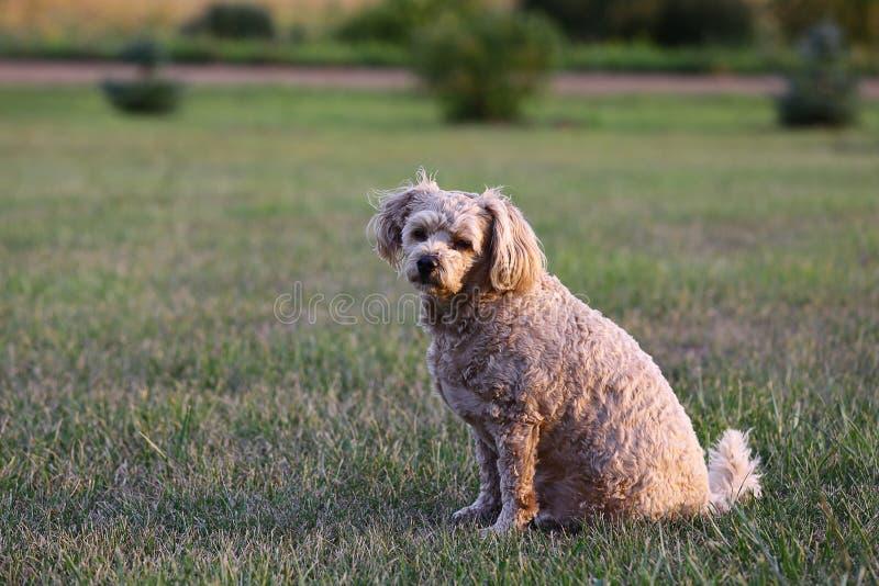 Cockapoo psa obsiadanie w łące zdjęcia stock