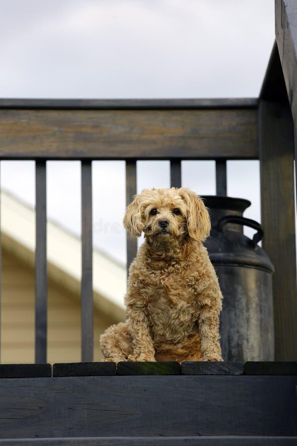 Cockapoo psi baczny na wierzchołku schodki zdjęcie royalty free