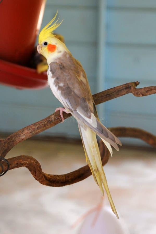 Cockatiel попугая стоковая фотография rf