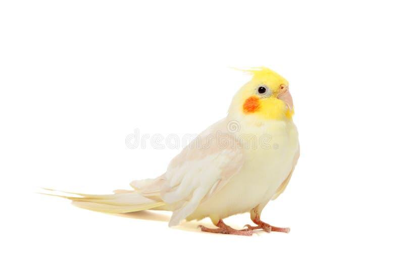Cockatiel попугая стоковое изображение rf