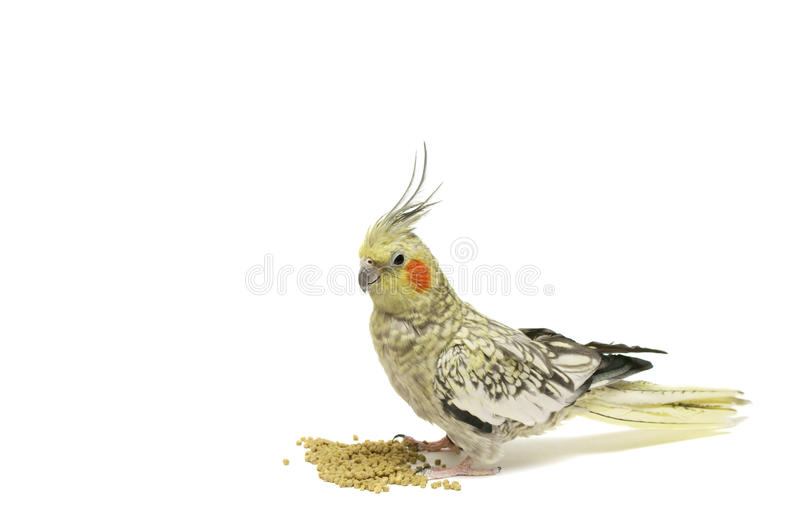 cockatiel obraz stock