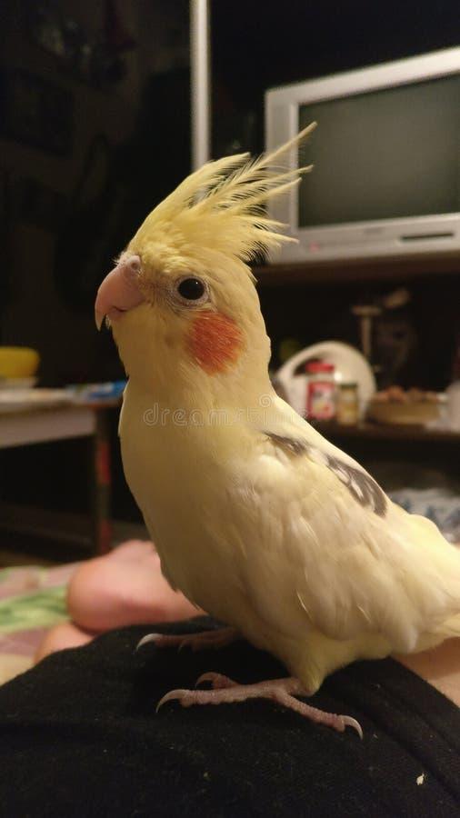 Cockatiel fotografia stock