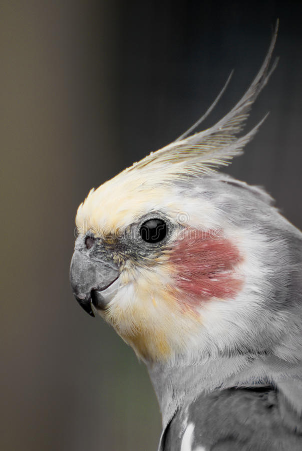 Cockatiel photographie stock