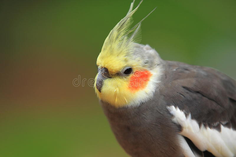 Cockatiel obrazy royalty free