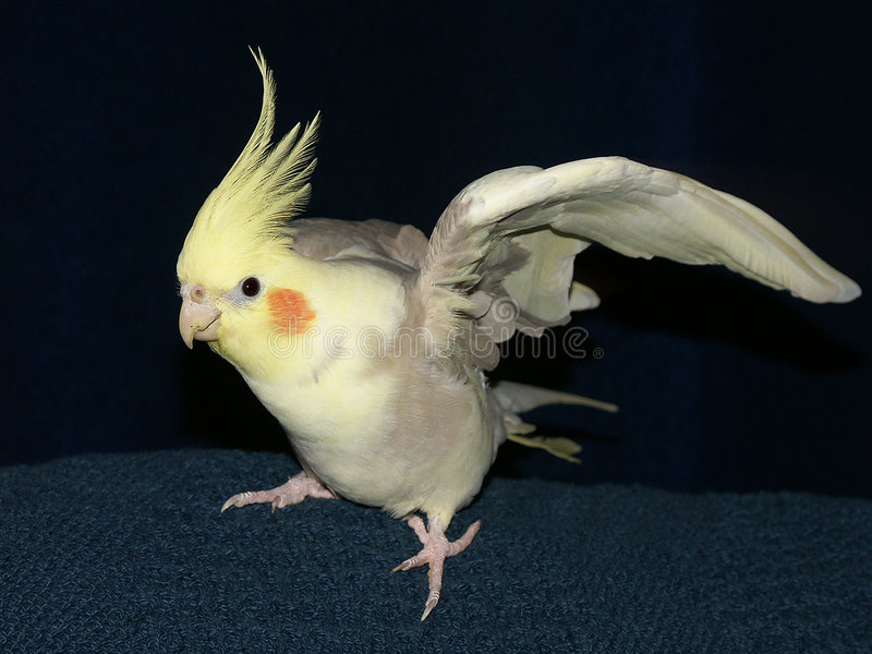 cockatiel obrazy stock