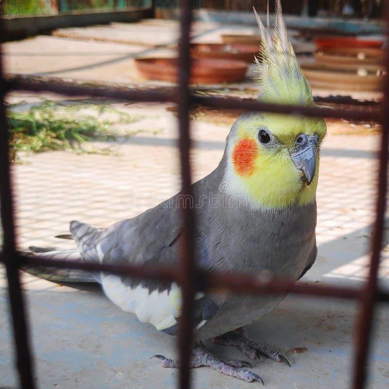 Cockatiel africano immagini stock