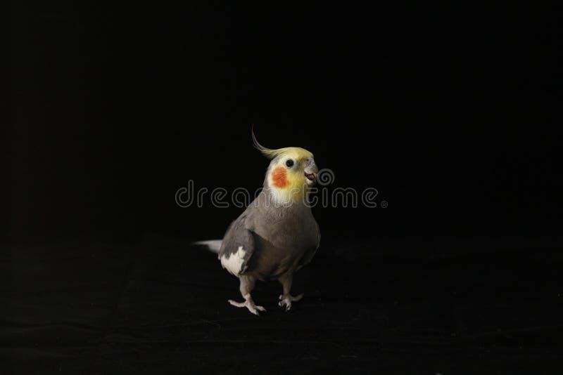 Cockatiel auf schwarzem Hintergrund lizenzfreies stockbild