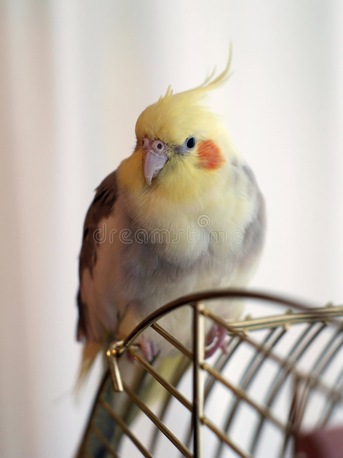 Cockatiel bird on a cage royalty free stock photos