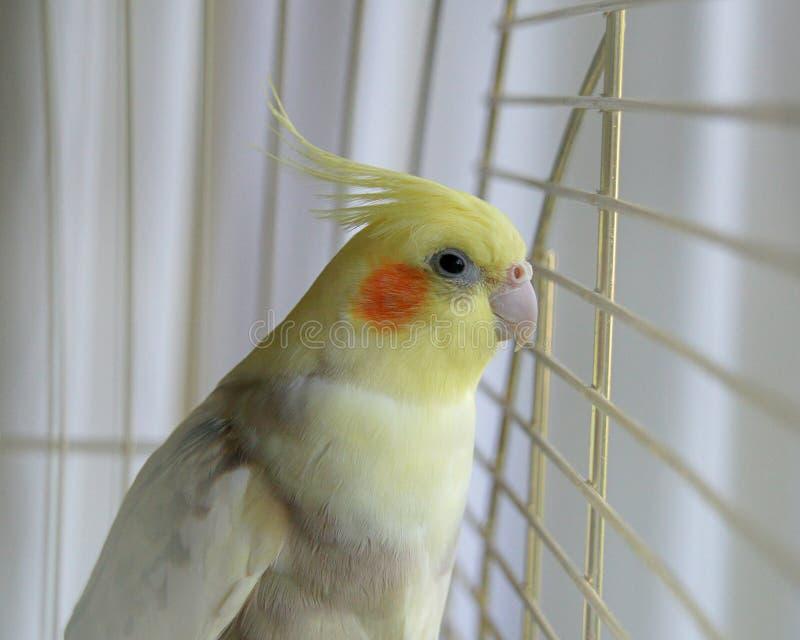 Cockatiel bird in a cage royalty free stock photo