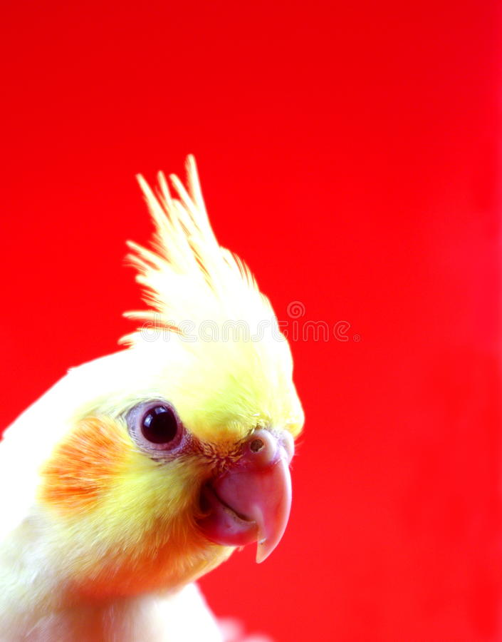 Download Cockatiel Bird Parrot Head On Red Stock Photography - Image: 20324392