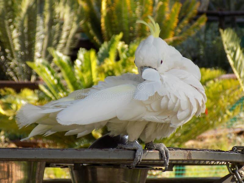 Shy cockatiel stock images