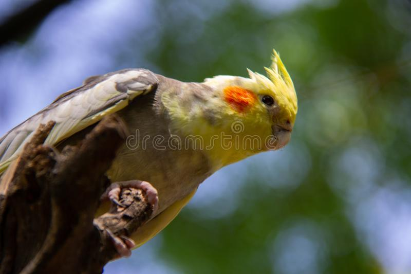 Cockatiel on a  branch which a nice green background royalty free stock image