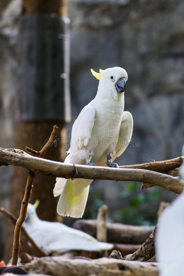 Download Cockatiel In Chiangmai Zoo , Thailand Stock Image - Image: 32431537