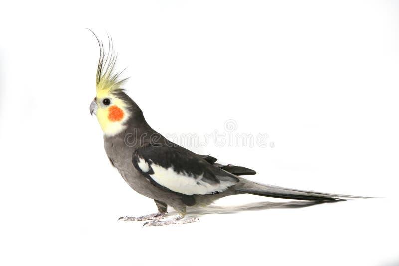 Cockatiel cinzento considerável fotografia de stock royalty free