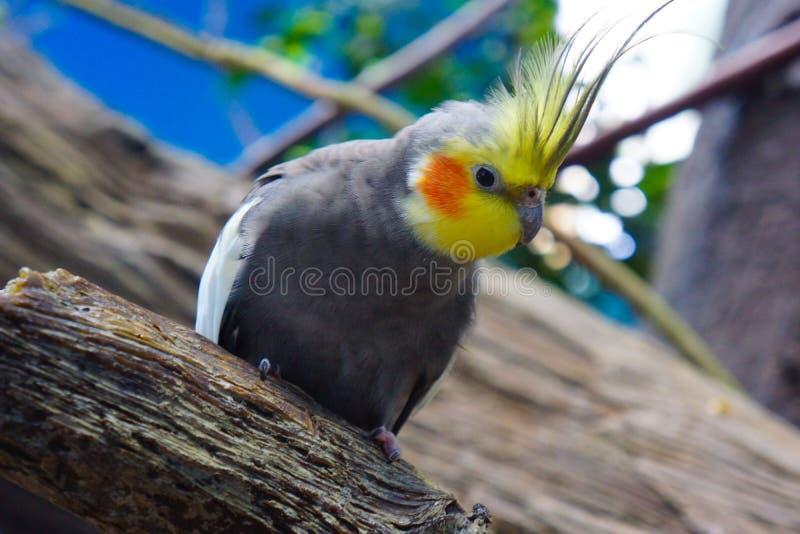 Cockatiel com o amarela vermelho de Calopsita do remendo do mordente da crista amarela imagens de stock