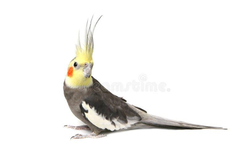 Cockatiel curieux gris mignon image libre de droits
