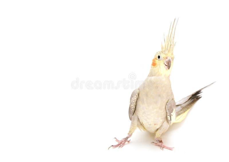 Cockatiel femenino fotografía de archivo