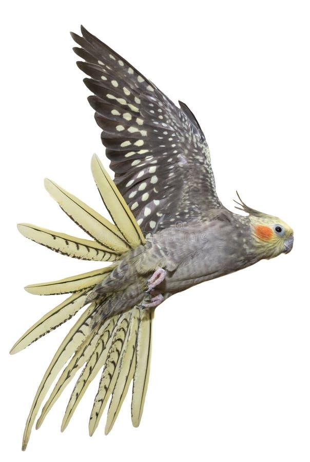 Cockatiel Flying stock photos