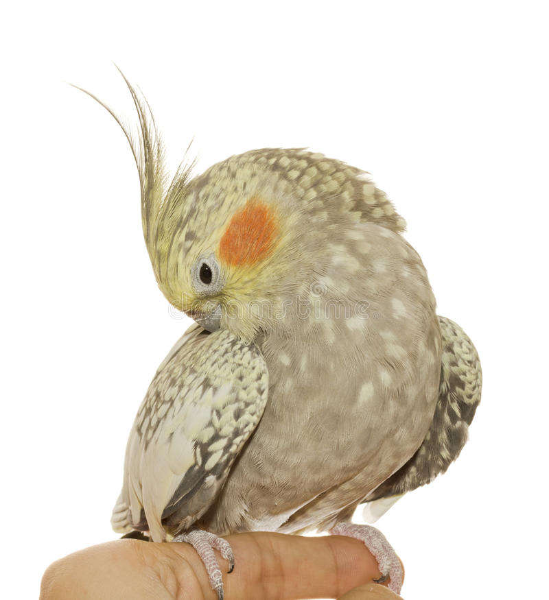 Free Cockatiel Hen Preening Her Feathers Royalty Free Stock Photography - 27118897
