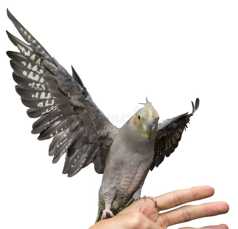 Cockatiel het Vliegen royalty-vrije stock afbeeldingen