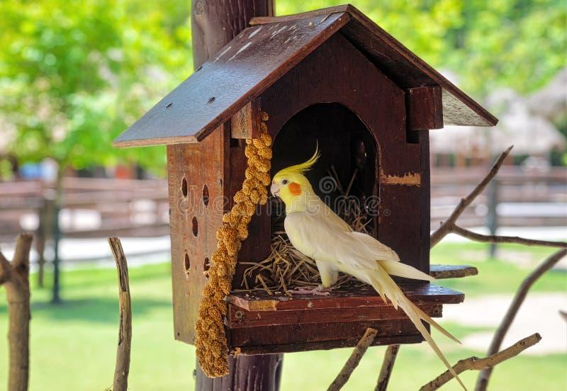 Cockatiel het voeden op een klein blokhuis royalty-vrije stock foto's