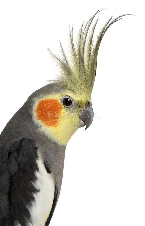 Cockatiel, hollandicus de Nymphicus photographie stock