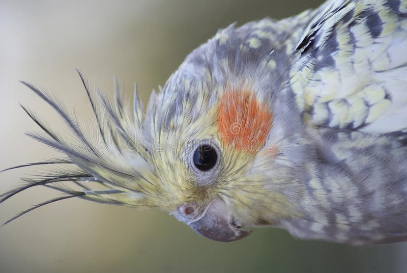 Cockatiel - hollandicus del Nymphicus fotos de archivo libres de regalías