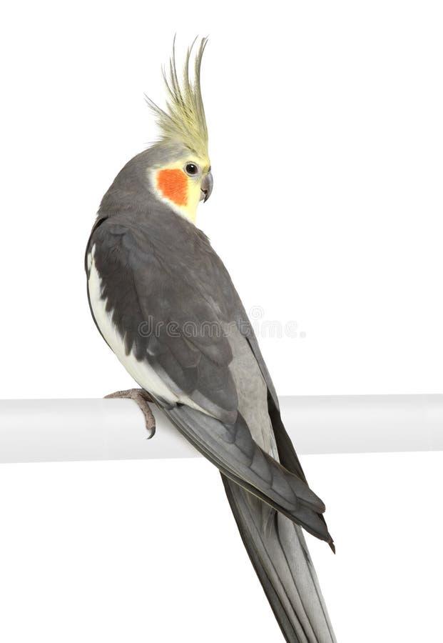 Cockatiel - hollandicus del Nymphicus imágenes de archivo libres de regalías