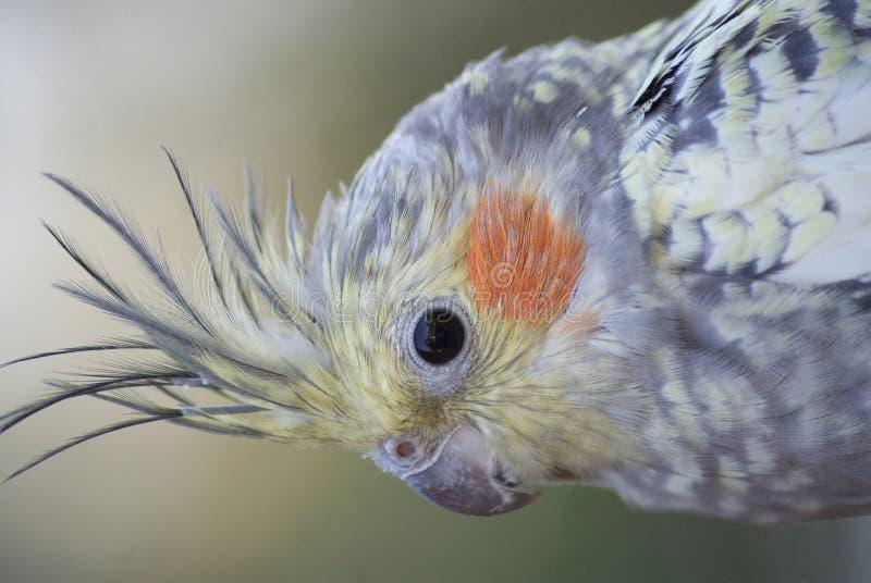 Cockatiel - hollandicus Nymphicus стоковые фотографии rf