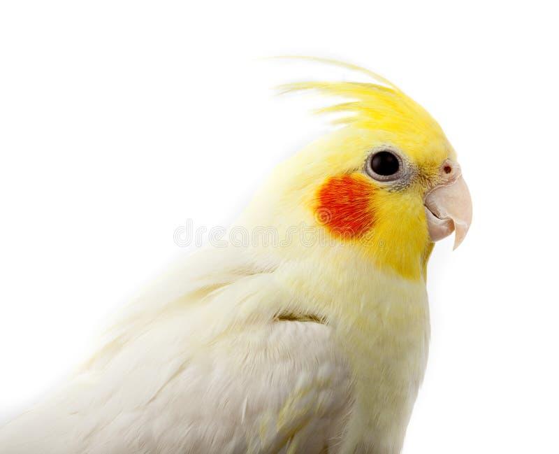 cockatiel kakadu papugi quarrion weero fotografia stock