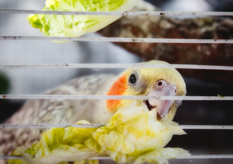 Cockatiel in a cage nibbling on a piece of lettuce through the bars stock photos