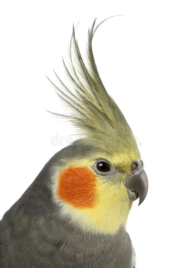Cockatiel, Nymphicus hollandicus, in front of white background royalty free stock photo