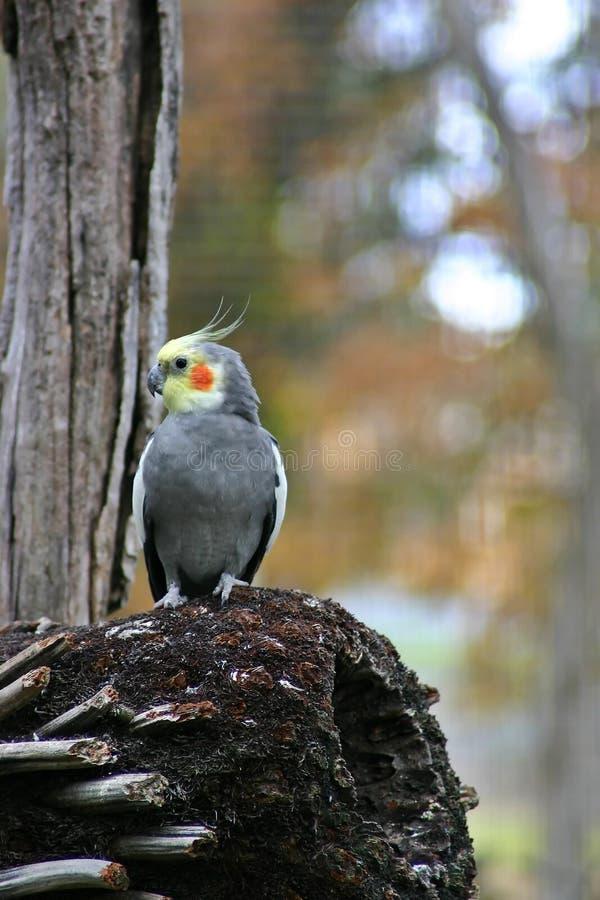 Cockatiel-Papagei stockbild