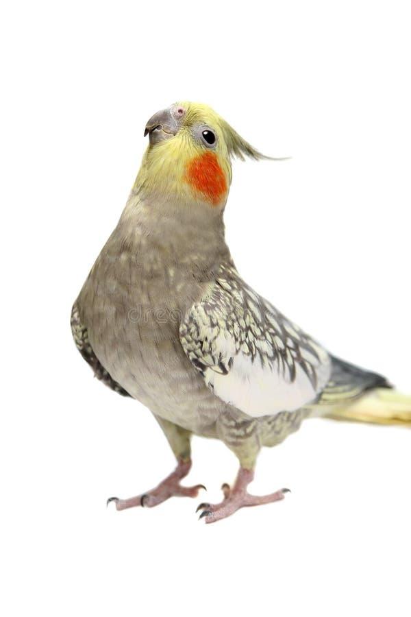 Cockatiel parakeet 4 χρονών στοκ εικόνες