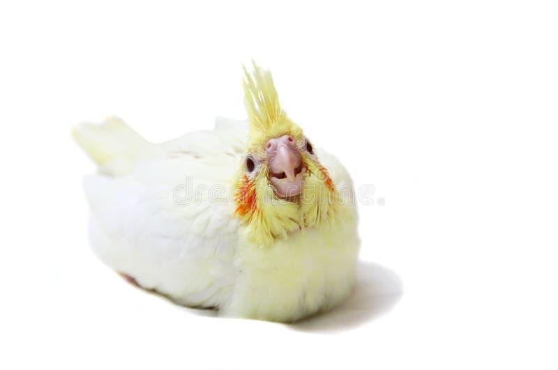 Cockatiel parakeet dziecko na bielu fotografia royalty free