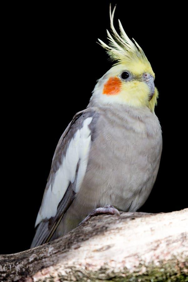 Cockatiel Parakeet ptak zdjęcie stock