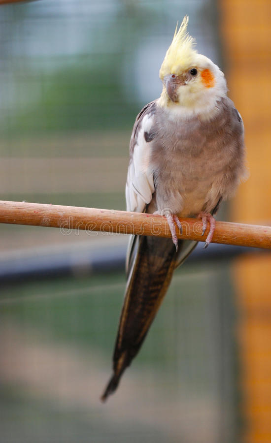 Cockatiel on perch royalty free stock images