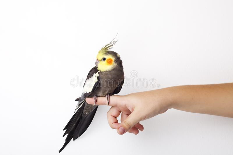 Cockatiel perched on a hand on white background stock photo