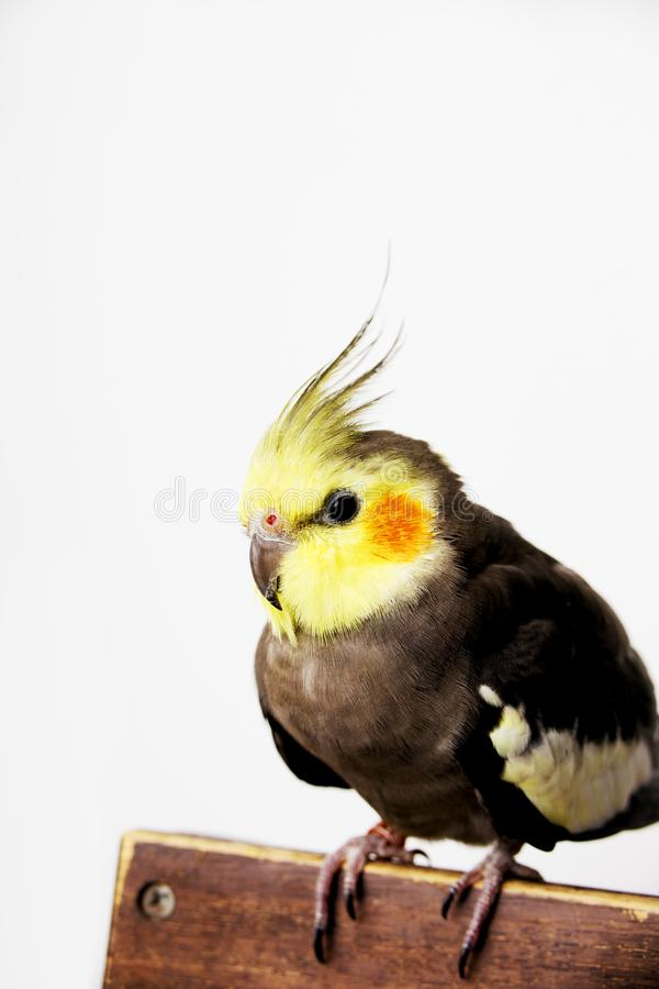 Cockatiel perched on a hand on white background royalty free stock photos