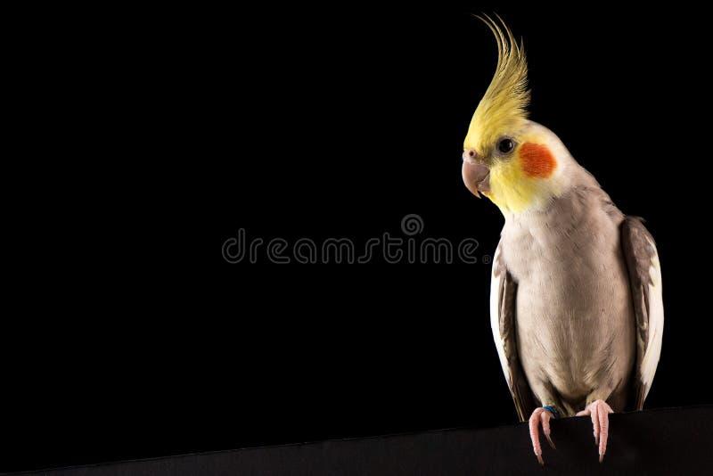 Cockatiel portret, Śliczny Parakeet Pozować, odizolowywam na czarnym tle, studio obrazy stock