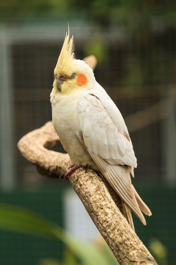 Cockatiel se reposant sur une perche photographie stock