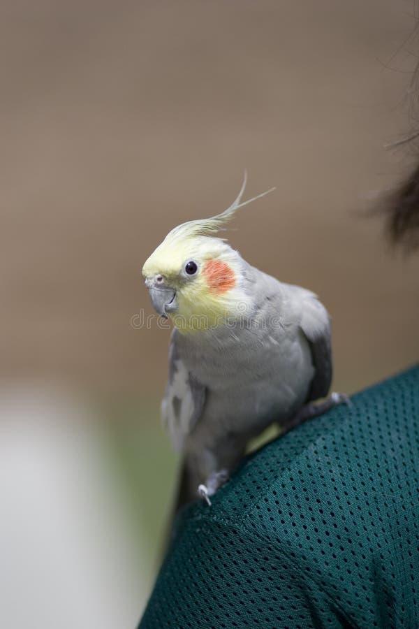 Cockatiel on Shoulder royalty free stock photos