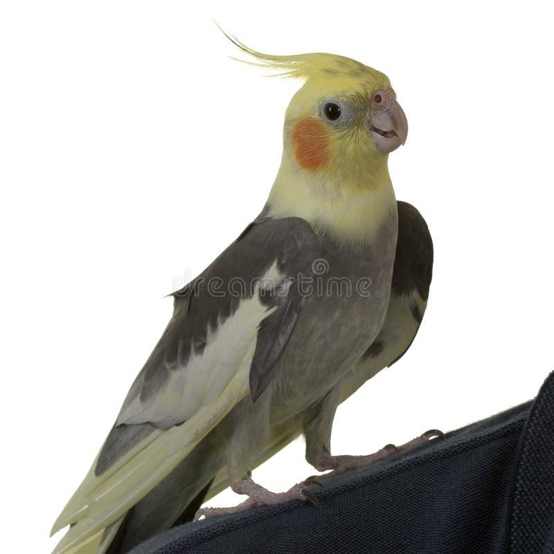 Cockatiel sulla spalla fotografie stock