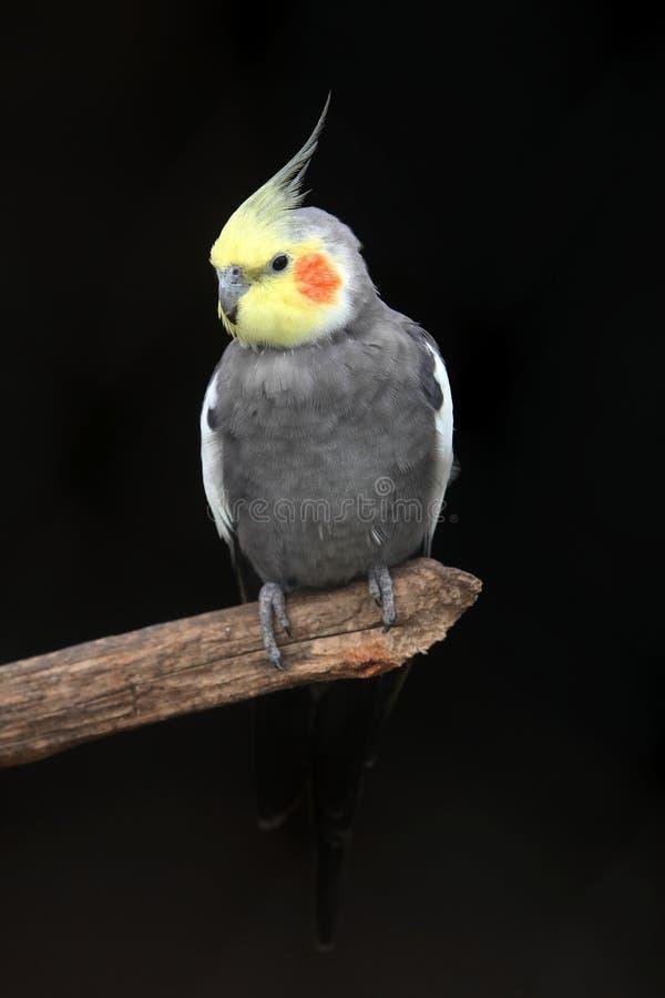 Cockatiel-Vogel stockfotos
