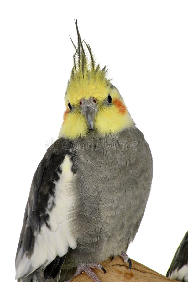 Download Cockatiel On White Royalty Free Stock Photos - Image: 1414448
